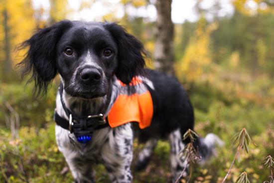 Koiran näkyvyys pimeällä - Kirsu edellä | Koiravaruste.fi -blogi