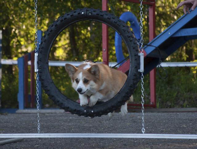 Nala hyppää rengasta